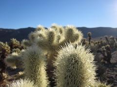 Cholla_cactus