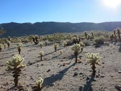 Cholla_cactus_2