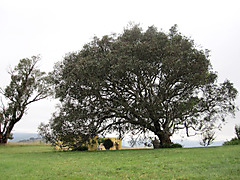 200_yrs_old_tree