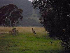 Kangaro0_2